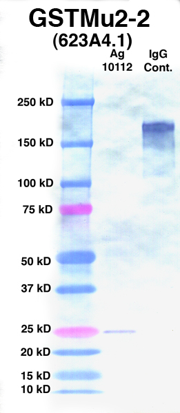 Click to enlarge image Western Blot using CPTC-GSTMu2-2 as primary Ab against Ag 10112 (lane 2). Also included are molecular wt. standards (lane 1) and mouse IgG control (lane 3).