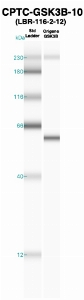 Click to enlarge image Western Blot using CPTC-GSK3B-10 as primary Ab against recombinant GSK3B (lane 2). Also included are molecular wt. standards (lane 1).