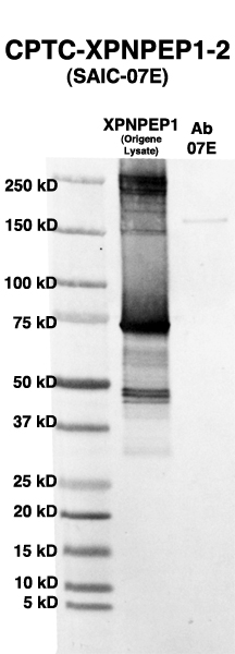 Click to enlarge image Western Blot using CPTC-XPNPEP-2 as primary Ab against HEK293T cell lysate containing XPNPEP (from Origene) in lane 2. Also included are molecular wt. standards (lane 1) and the XPNPEP-2 Ab as the IgG control (lane 3).