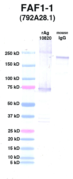Click to enlarge image Western Blot using CPTC-FAF1-1 as primary Ab against FAF1 (rAg 10820) in lane 2. Also included are molecular wt. standards (lane 1) and mouse IgG control (lane 3).