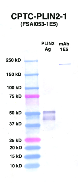 Click to enlarge image Western Blot using CPTC-PLIN2-1 as primary Ab against PLIN2 (rAg 00092) (lane 2). Also included are molecular wt. standards (lane 1) and mouse IgG control (lane 3).