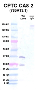 Click to enlarge image Western Blot using CPTC-CA8-2 as primary Ab against Ag 10903 (lane 2). Also included are molecular wt. standards (lane 1) and mouse IgG control (lane 3).