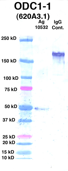 Click to enlarge image Western Blot Using CPTC-ODC1-1 as primary Ab against Ag 10532(Lane 2). Also included are Molecular Weight markers (Lane 1) and mouse IgG positive control (Lane 3).