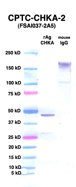 Click to enlarge image Western Blot using CPTC-CHKA-2 as primary Ab against CHKA (rAg 00008) (lane 2). Also included are molecular wt. standards (lane 1) and mouse IgG control (lane 3).