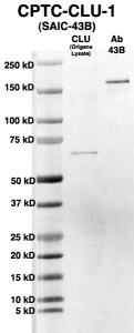 Click to enlarge image Western Blot using CPTC-CLU-1 as primary Ab against HEK293T cell lysate containing CLU (from Origene) in lane 2. Also included are molecular wt. standards (lane 1) and the CLU-1 Ab as the IgG control (lane 3).