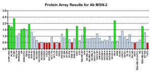 Click to enlarge image Protein Array in which CPTC-MSN-2 is screened against the NCI60 cell line panel for expression. Data is normalized to a mean signal of 1.0 and standard deviation of 0.5. Color conveys over-expression level (green), basal level (blue), under-expression level (red).