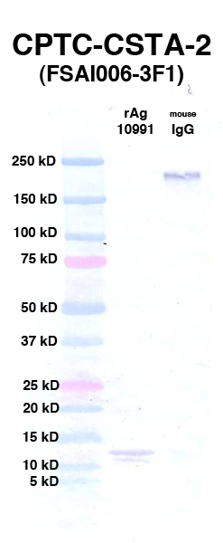 Click to enlarge image Western Blot using CPTC-CSTA-2 as primary Ab against rAg 10991 (CSTA) (lane 2). Also included are molecular wt. standards (lane 1) and mouse IgG as control for goat anti-mouse HRP secondary binding (lane 3).