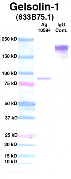 Click to enlarge image Western Blot using CPTC-Gelsolin-1 as primary Ab against Ag 10594 (lane 2). Also included are molecular wt. standards (lane 1) and mouse IgG control (lane 3).