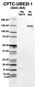 Click to enlarge image Western Blot using CPTC-UBE2I-1 as primary Ab against full-length recombinant Ag 10319 (lane 2). Also included are molecular wt. standards (lane 1) and the UBE2I-1 Ab as positive control (lane 3).