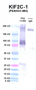 Click to enlarge image Western Blot using CPTC-KIF2C-1 as primary Ab against KIF2C (rAg 11188) in lane 2. Also included are molecular wt. standards (lane 1) and mouse IgG control (lane 3).