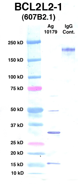 Click to enlarge image Western Blot using CPTC-BCL2L2-1 as primary Ab against Ag 10179 (lane 2). Also included are molecular wt. standards (lane 1) and mouse IgG control (lane 3).