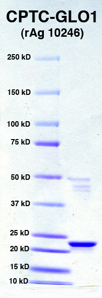 Click to enlarge image SDS-PAGE of CPTC-GLO1 with molecular weight markers (in Lane 1)