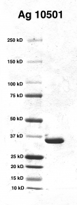 Click to enlarge image PAGE of Ag 10501 with molecular weight standards in lane 1