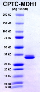 Click to enlarge image PAGE of MDH1 (Ag 10990) in Lane 2 with molecular weight standards in lane 1