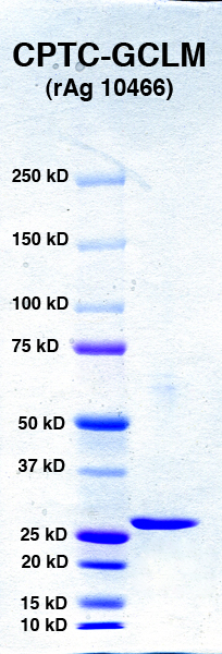 Click to enlarge image PAGE of GCLM (rAg 10466) with molecular weight standards in lane 1.