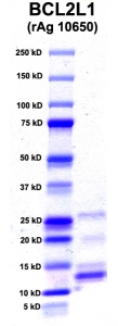 Click to enlarge image PAGE of BCL2L2 (rAg 10650) with molecular weight standards in lane 1